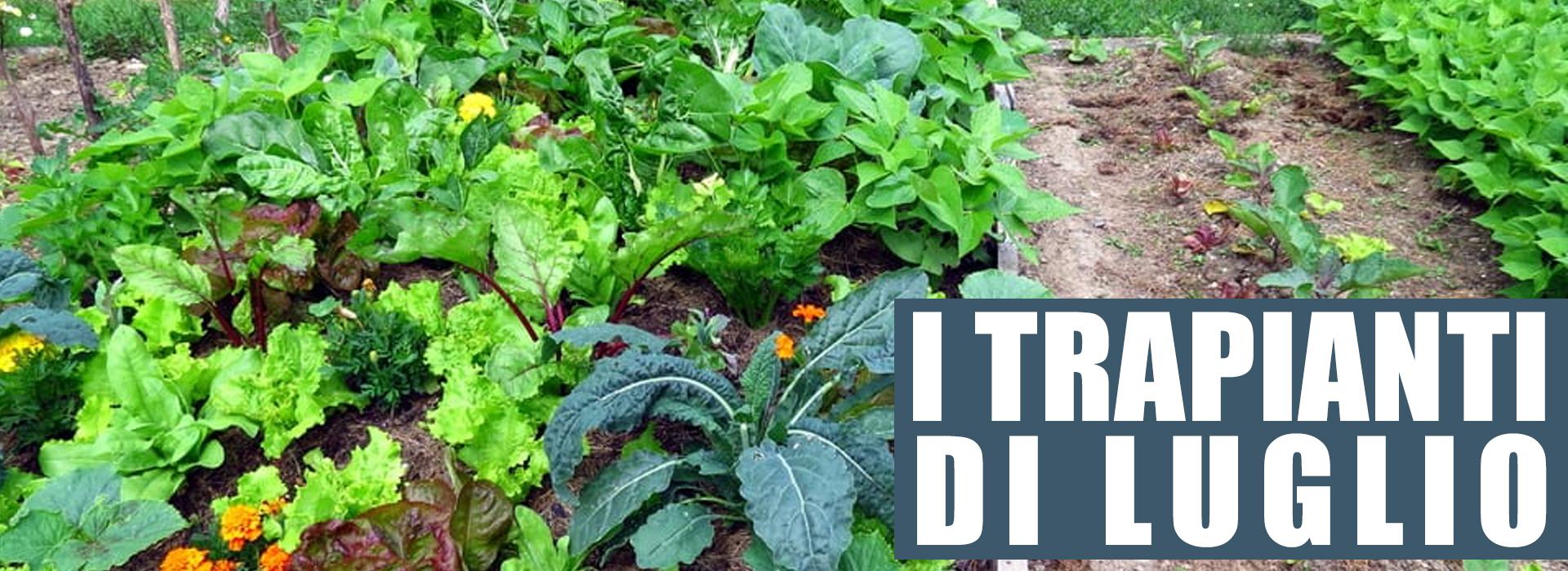 Pianta Cavolini Di Bruxelles semine e trapianti del mese di luglio | caminada sementi sa